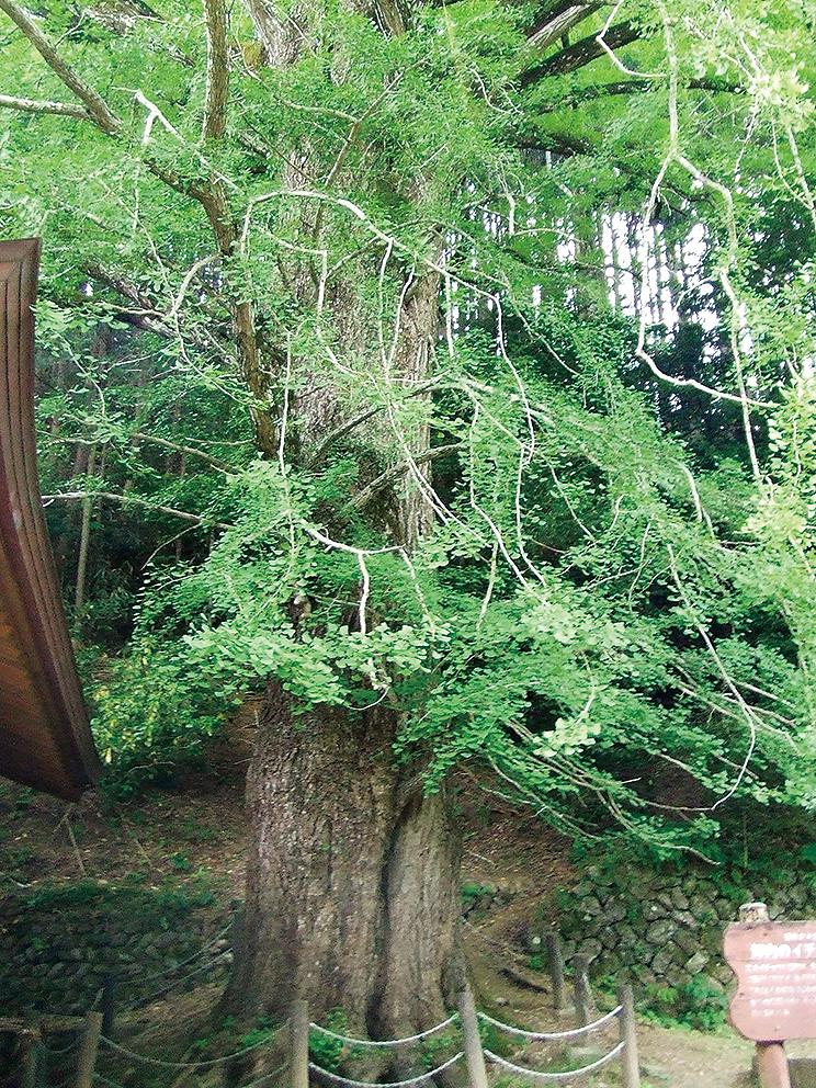 坪内のイチョウの巨樹