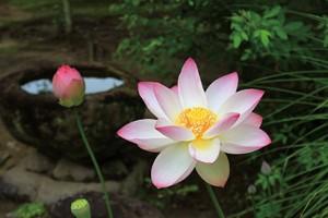 奈良・西の京ロータスロード ~蓮を巡る古都の夏~