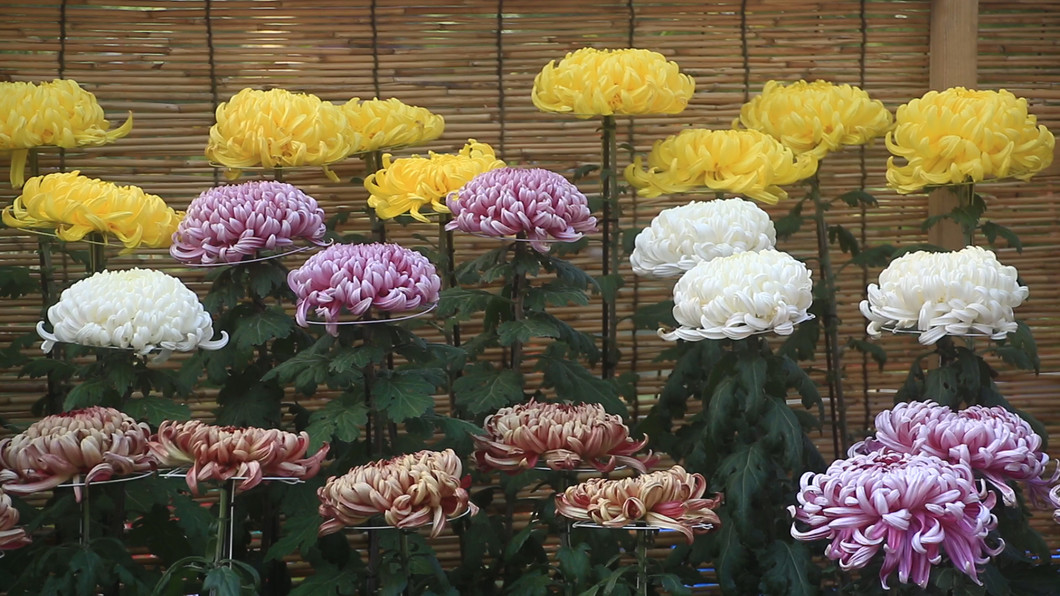 第4回菊祭りと後醍醐天皇御自作の木像特別公開