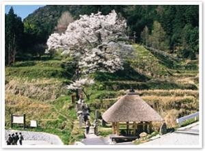 佛隆寺千年桜の花見会
