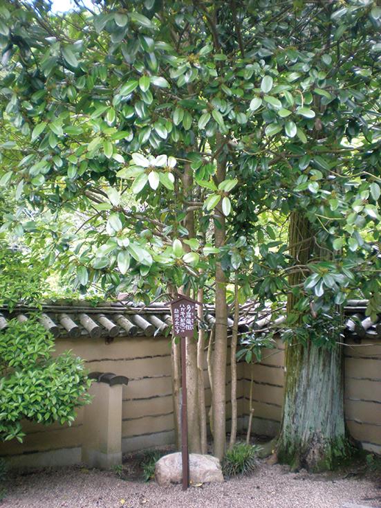 葉書きの木