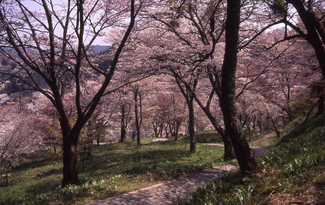 桜【中千本】