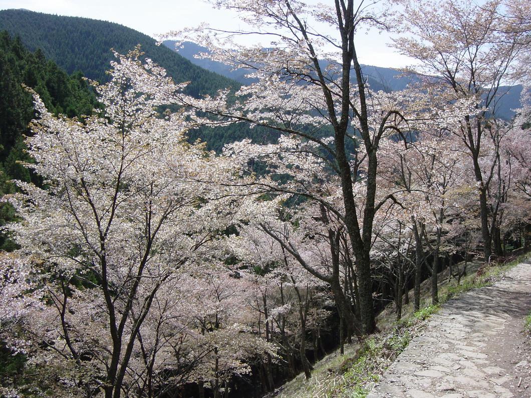 桜【奥千本】