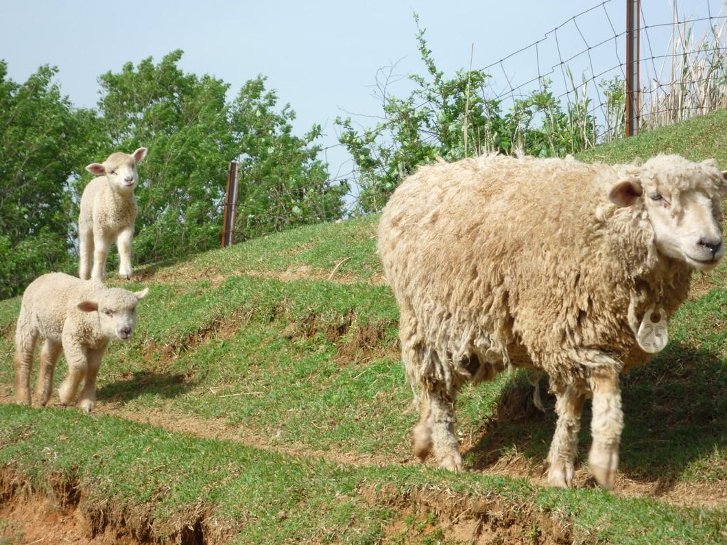 内容 羊の放牧
