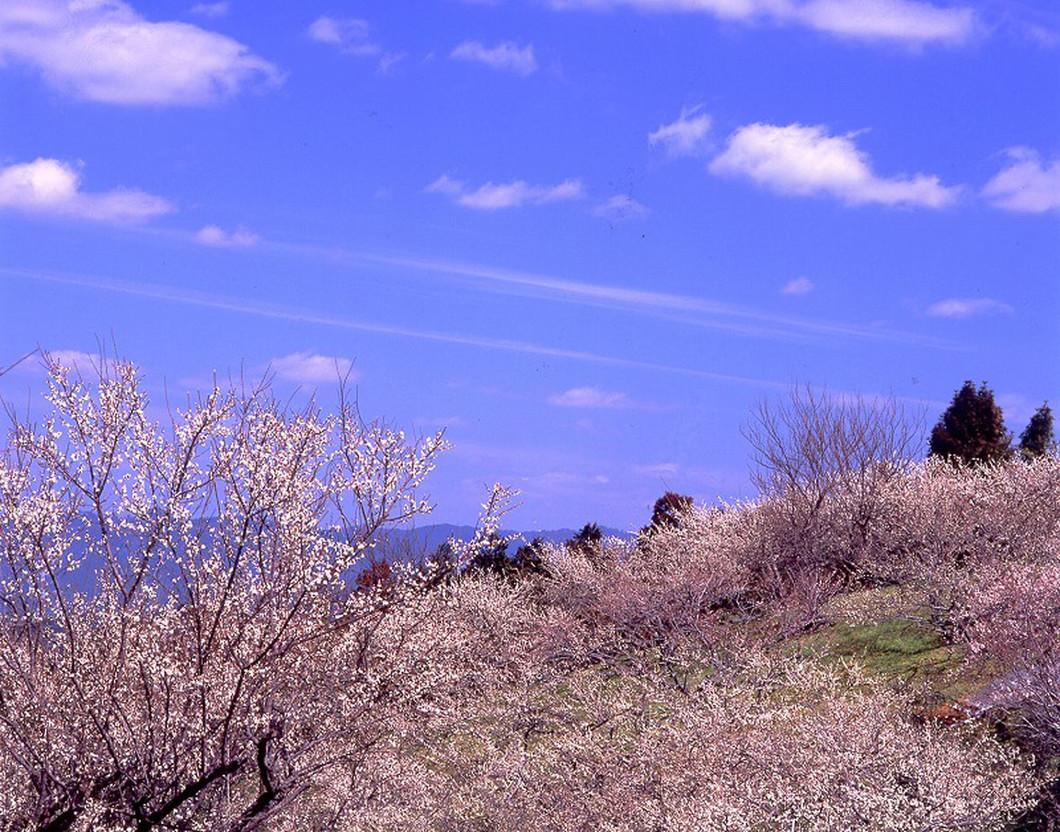 梅の里山まつり