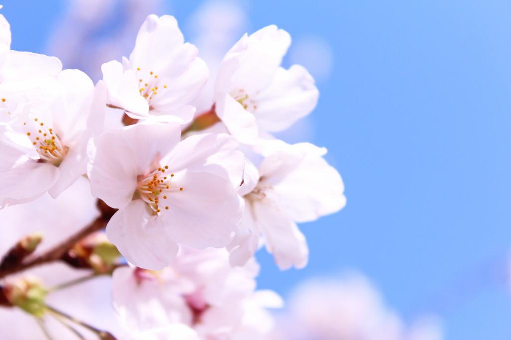 2021年 桜の見頃情報