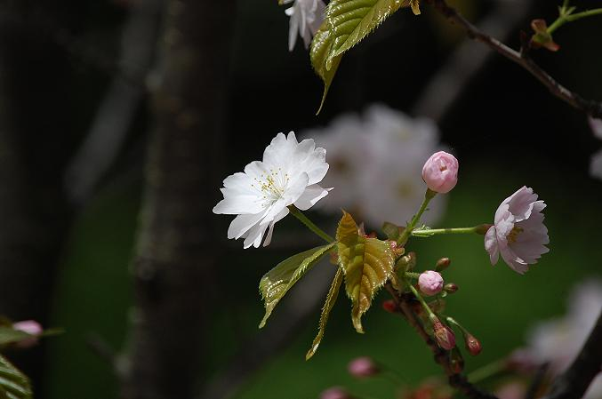 きたまち 奈良八重桜巡り