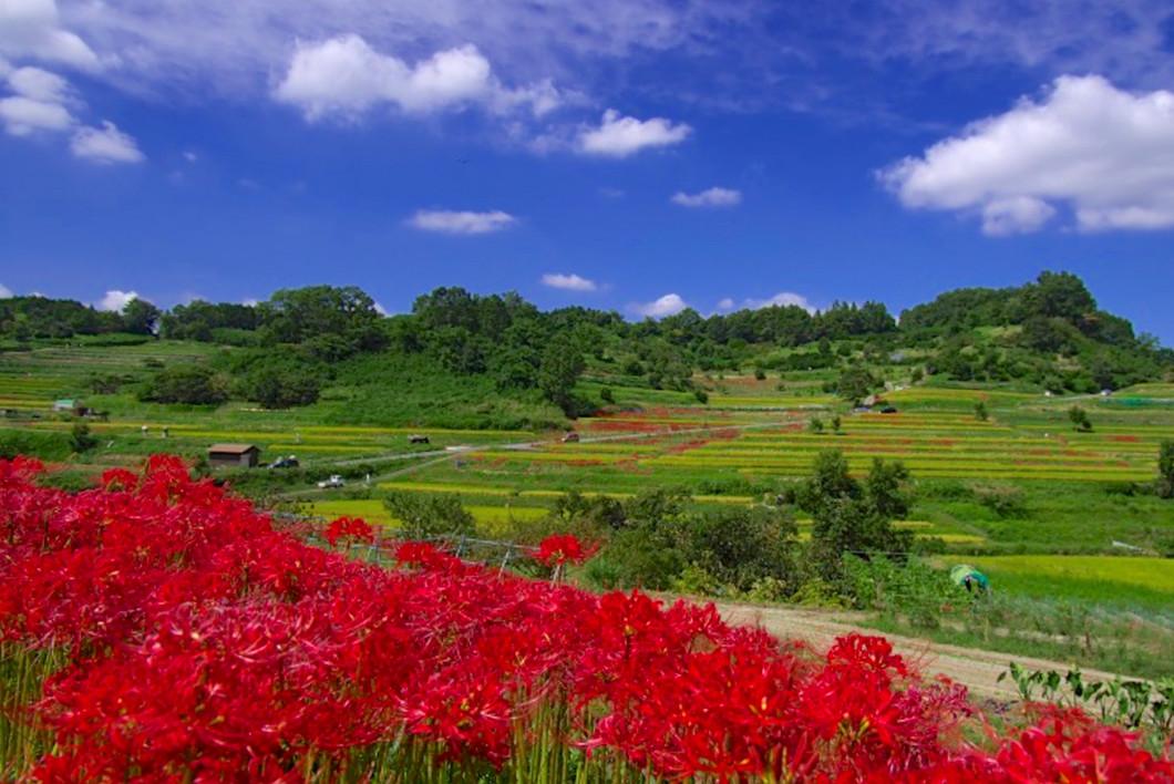咲き誇る彼岸花と棚田の風景