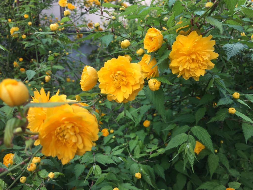 本堂とヤマブキの花