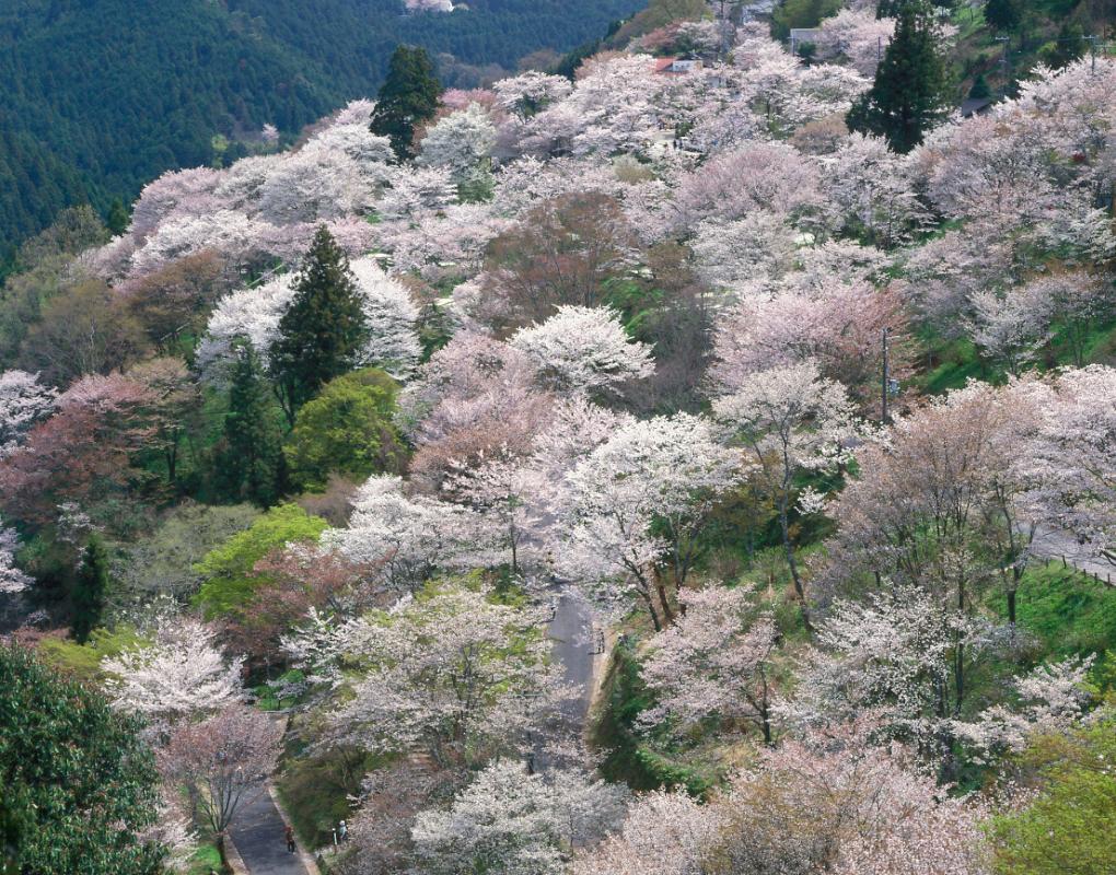桜【下千本】