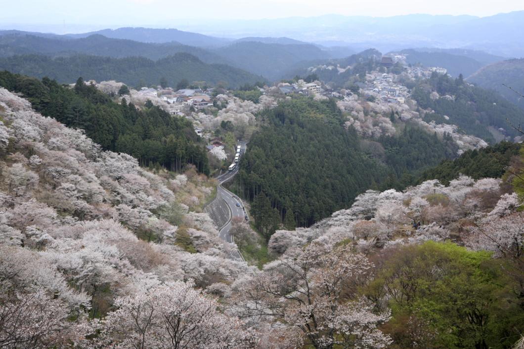桜【上千本】