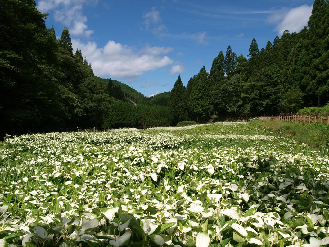岡田の谷の半夏生園