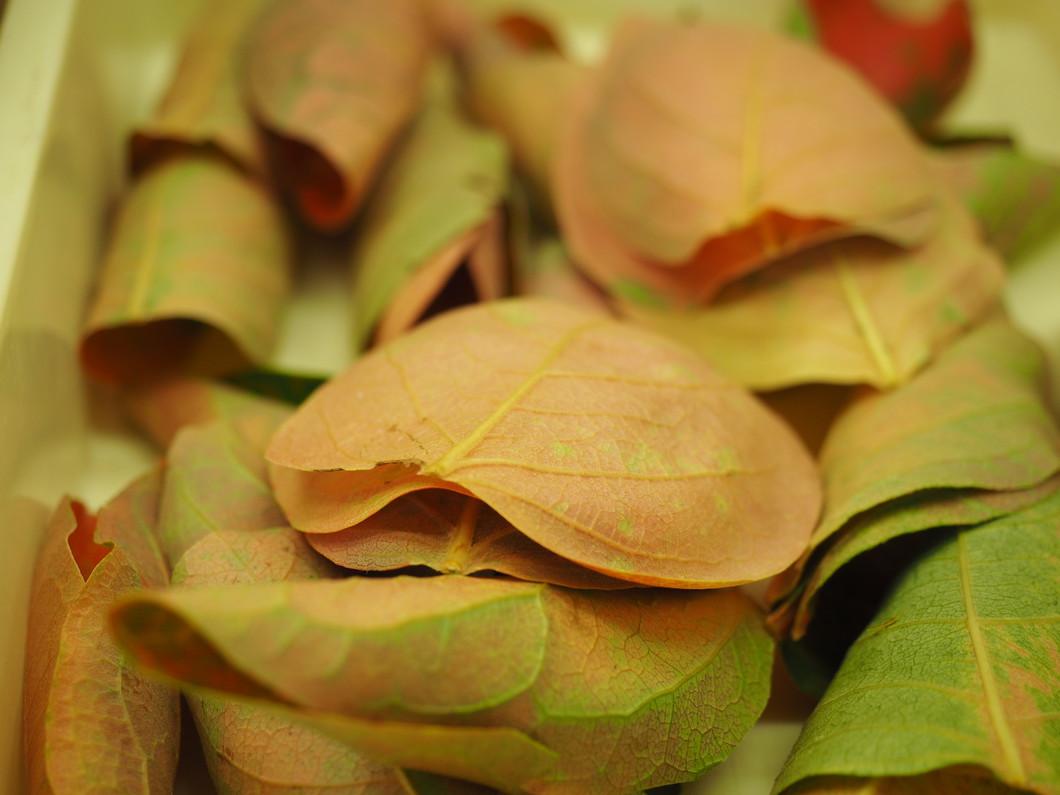 秋には色づいた柿の葉を