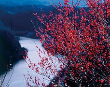 奈良県三大梅林